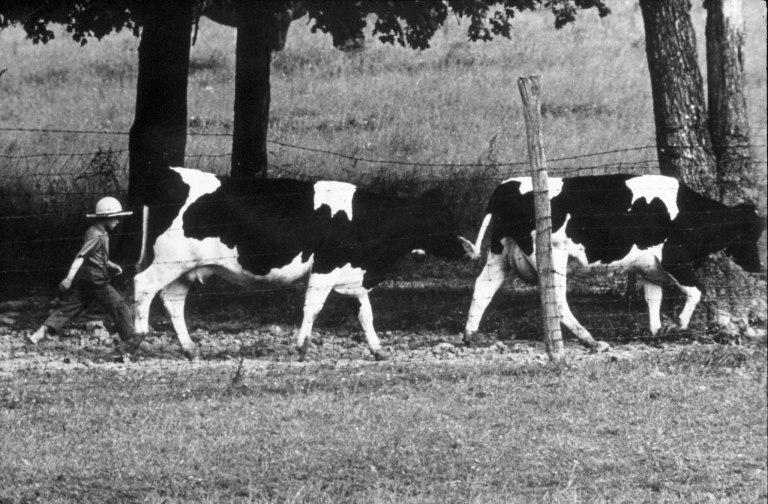 Amish68BoyCows